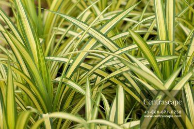 Centrascape - Shrubs - Pandanus