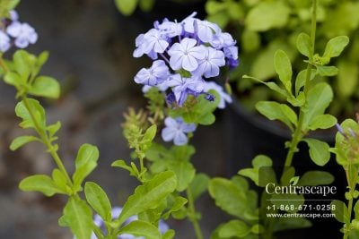 Centrascape - Shrubs - Plumbago