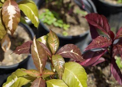 Centrascape - Shrubs - Pseuderanthemum 1