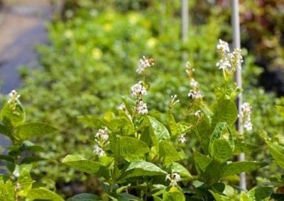 Centrascape - Shrubs - Pseuderanthemum 3