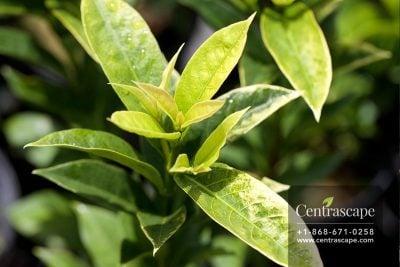 Centrascape - Shrubs - Pseuderanthemum