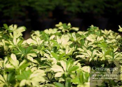 Centrascape - Shrubs - Schefflera 1
