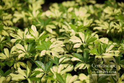 Centrascape - Shrubs - Schefflera