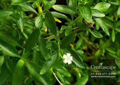 Centrascape - Shrubs - Snow Rose