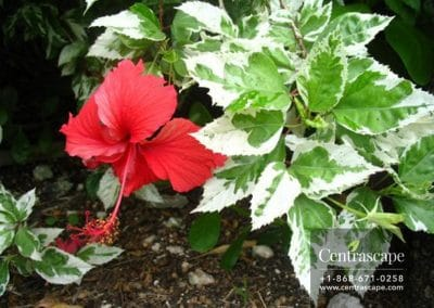 Centrascape - Shrubs - White Leaf Hibiscus