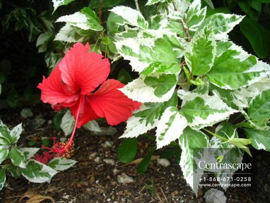 White Leaf Hibiscus Centrascape