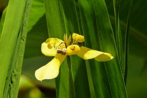 Centrascape - Shrubs - Yellow Iris