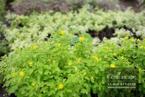 Centrascape - Shrubs - Yellow Oxales