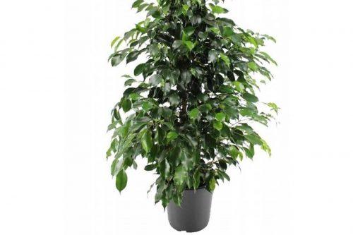 Centrascape - Shrubs - Ficus Assorted