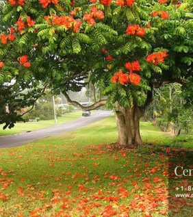 Centrascape - Trees- African Tulip