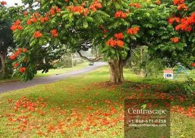 Centrascape - Trees - African Tulip