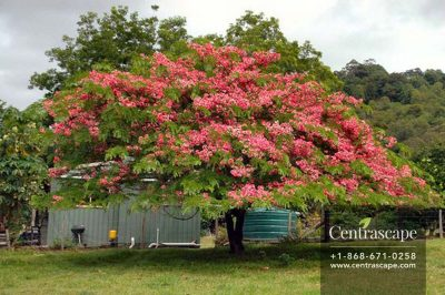 Centrascape - Trees - Apple Blossom Cassia