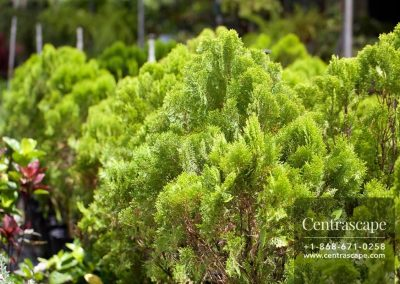 Centrascape - Trees - Arborvitae 1