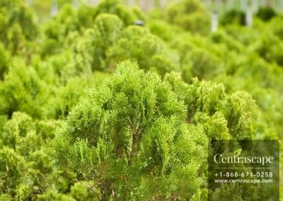 Centrascape - Trees - Arborvitae 2