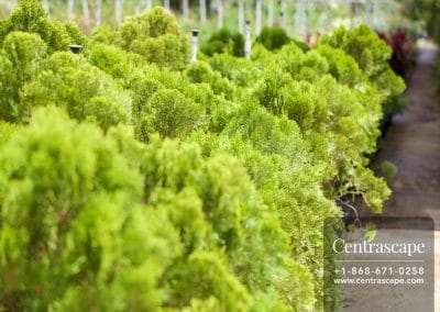 Centrascape - Trees - Arborvitae 3