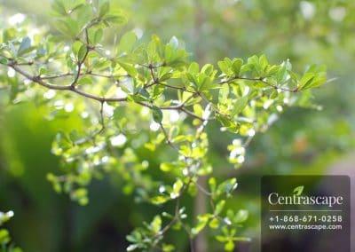 Centrascape - Trees - Black Olive 1