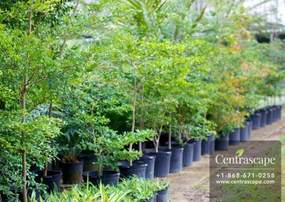 Centrascape - Trees - Black Olive 2