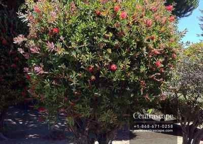 Centrascape - Trees - Bottle brush 1