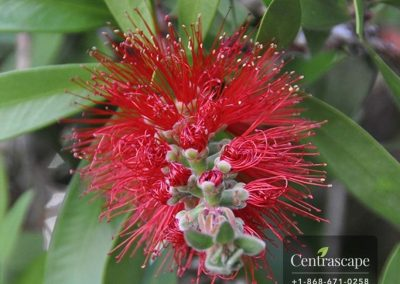 Centrascape - Trees - Bottle brush
