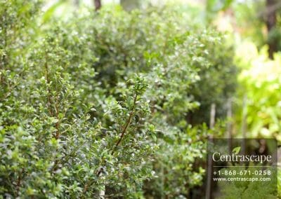Centrascape - Trees - Eugenia