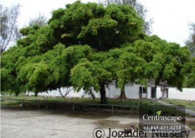 Centrascape - Trees - Ficus benjamina 1