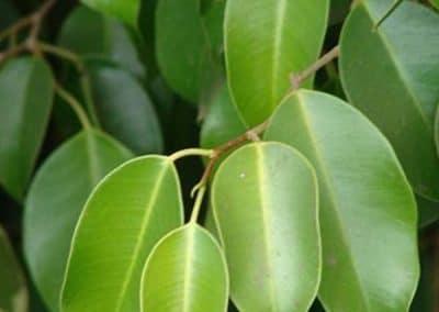Centrascape - Trees - Ficus benjamina 2