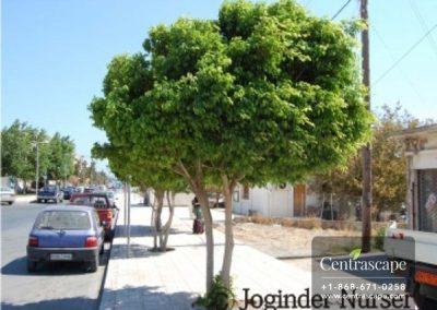 Centrascape - Trees - Ficus benjamina