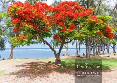 Centrascape - Trees - Flamboyant