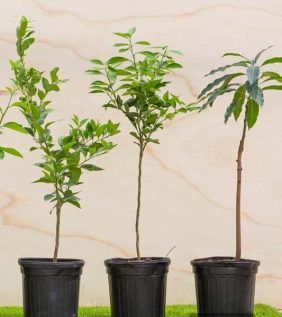 Centrascape - Trees - Grafted Tree