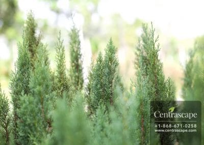 Centrascape - Trees - Italian Cypress 1