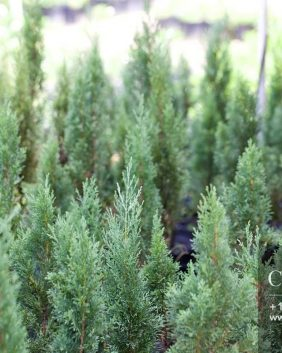 Centrascape - Trees - Italian Cypress