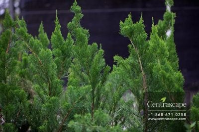 Centrascape - Trees - Juniper