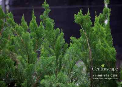 Centrascape - Trees - Juniper