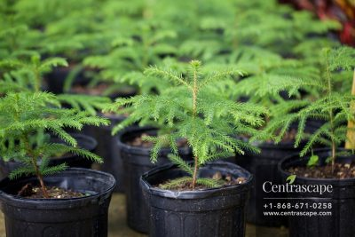 Centrascape - Trees - Norfolk Pine