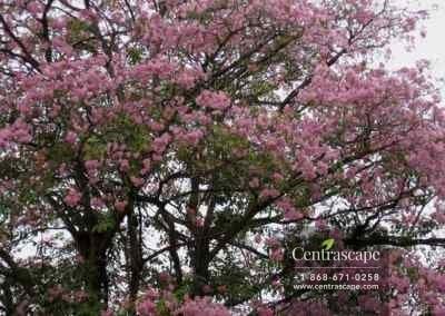 Centrascape - Trees - Pink Poui 1