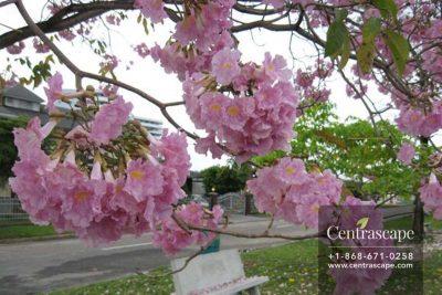 Centrascape-Trees-Pink-Poui