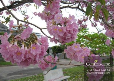 Centrascape---Trees---Pink-Poui