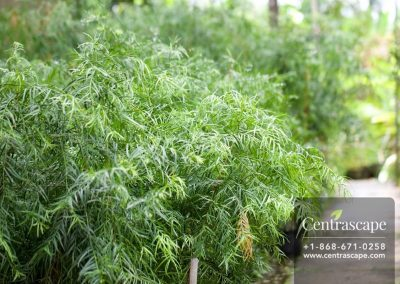 Centrascape - Trees - Podocarpus 3