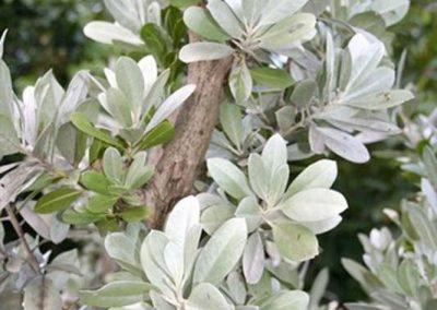 Centrascape - Trees - Silver Mongrove 2