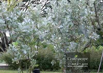 Centrascape - Trees - Silver Mongrove 3