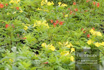 Centrascape - Trees - Tecoma