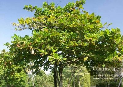 Centrascape - Trees - Tropical Almond