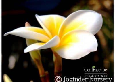 Centrascape - Trees - White Frangipani 1