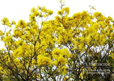 Centrascape - Trees - Yellow Poui