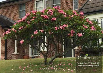 Centrascape---Trees--pink-frangipani-1