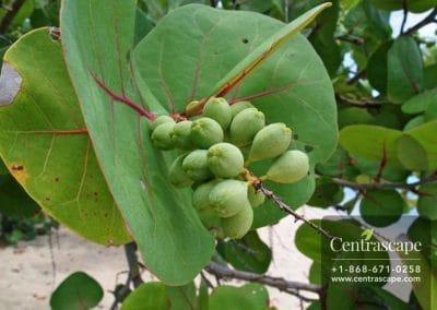 Centrascape - Trees - sea grape tree 1