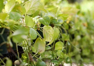Centrascape - Vines - Pothos 1
