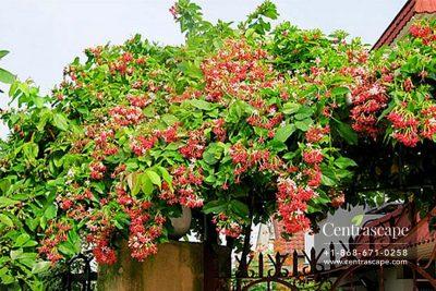 Centrascape - Vines - Ragoon Creeper