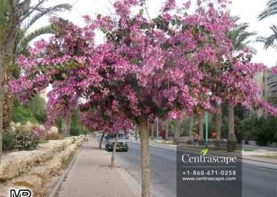 Centrascpe - Trees - Orchid Tree 1