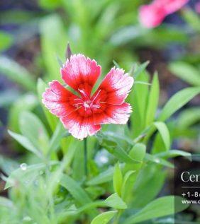 Centrascape - Dianthus